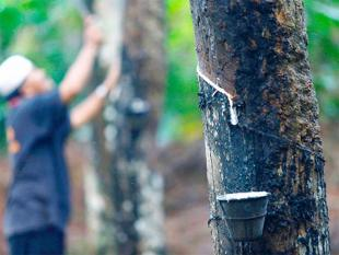 Rubber growers say theyll boycott tyre companies